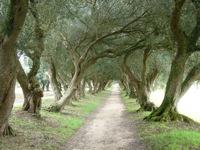 olive-path